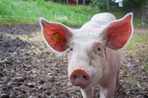 净利润暴增777%,股价超百元创历史新高,猪肉股能复制去年行情吗